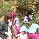 幼稚園と保育園ミカン狩り