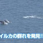 山桜まつり 南郷でイルカの群れ発見