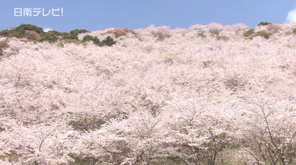 満開の桜 花立公園