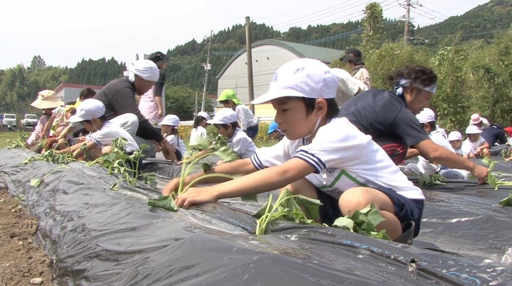 児童がサツマイモの苗植えに挑戦