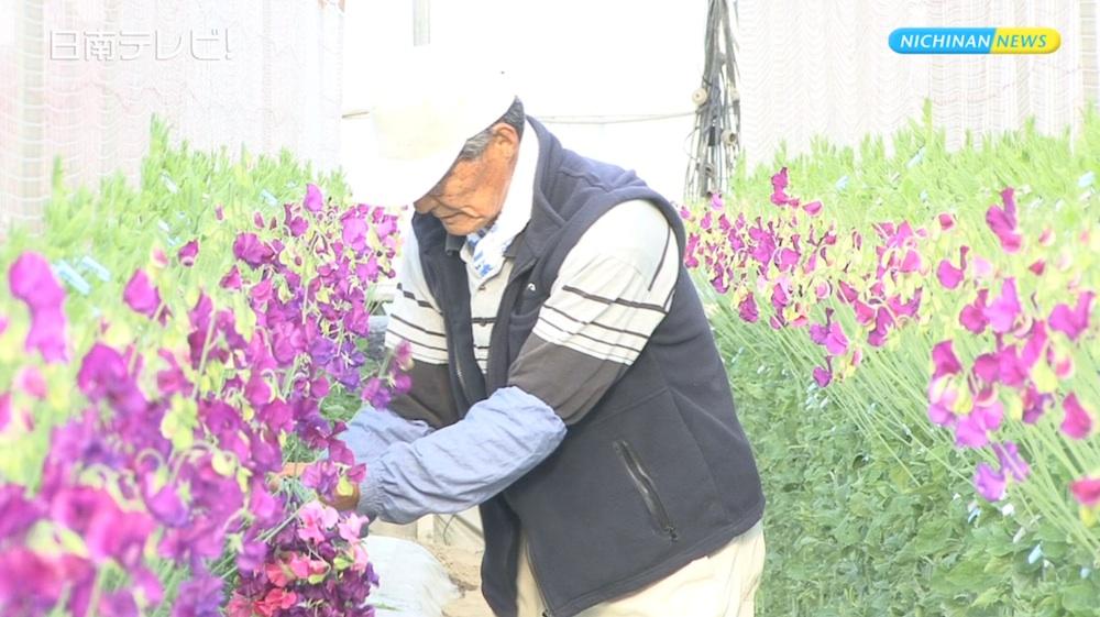 生産量日本一!スイートピー収穫始まる