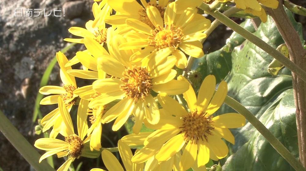 日南市の花「ツワブキ」が見頃
