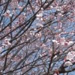 早咲き桜 日南寒咲一号
