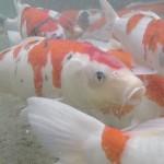 鯉の遊泳が復活