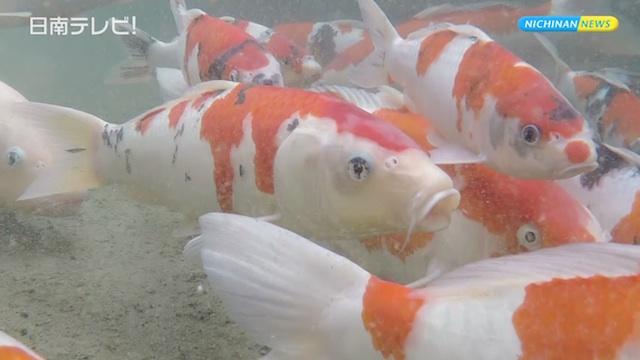 飫肥城下町 鯉の遊泳が復活