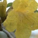イペの花が見頃