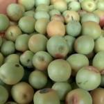 日南で南高梅の収穫