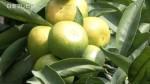 極早生温州ミカン「日南一号」の収穫