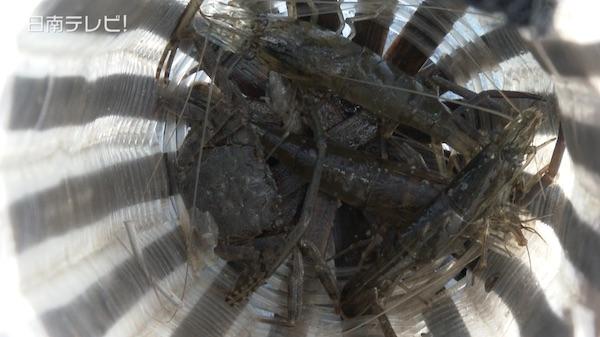 テナガエビ漁でエビまき汁