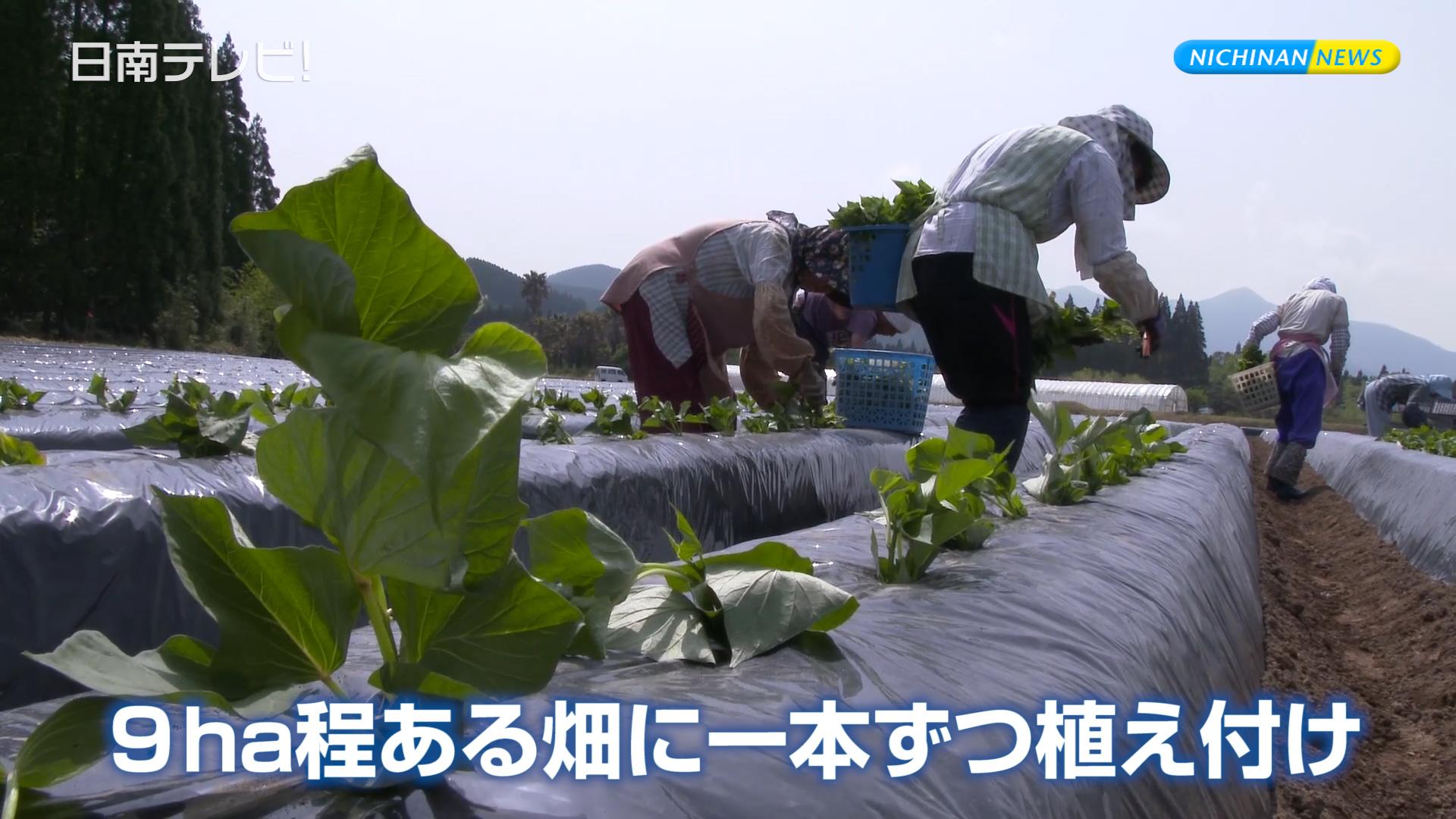芋苗の植え付け始まる