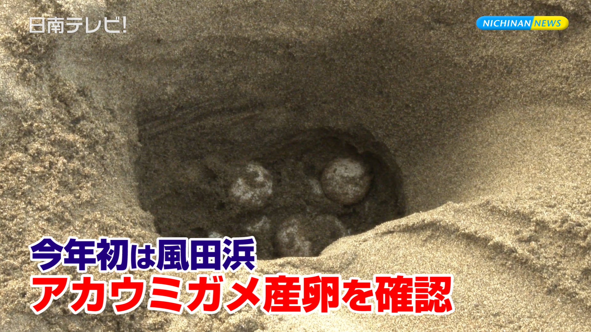 今年初は風田浜 アカウミガメの産卵を確認