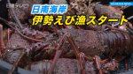 日南海岸 伊勢えび漁スタート