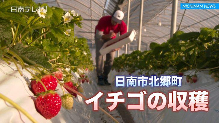 イチゴの収穫はじまる