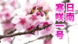 早すぎる開花「日南寒咲一号」