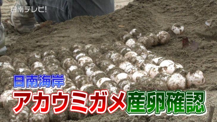 アカウミガメ 富土海水浴場で初産卵