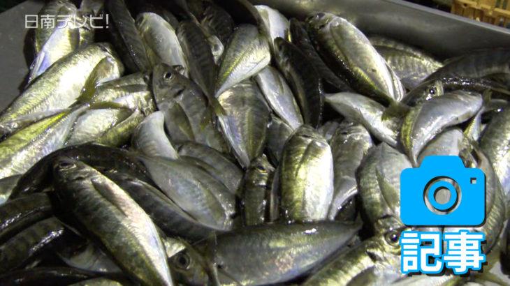 めいつ美々鯵 去年よりも漁獲量減少