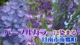 パープルカラーに染まる南郷 アジサイ、ハナショウブ、ジャカランダの花が見頃