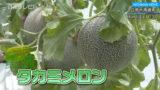 タカミメロンの収穫始まる