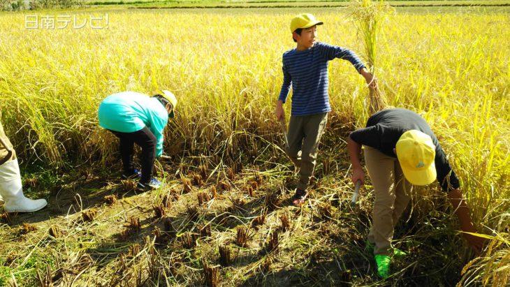 小学生が稲刈り体験