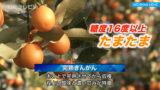 宮崎の便りに完熟きんかんを 「たまたま」収穫はじまる