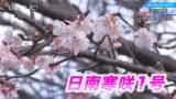 もうすぐ見頃 早咲き桜「日南寒咲1号」