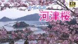南郷城跡にある早咲きの河津桜