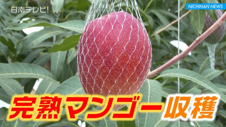 完熟マンゴー収穫始まる