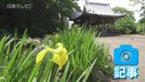 五百禩神社で黄菖蒲が見頃