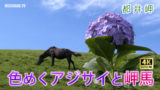 色めくアジサイと岬馬 〜都井岬〜
