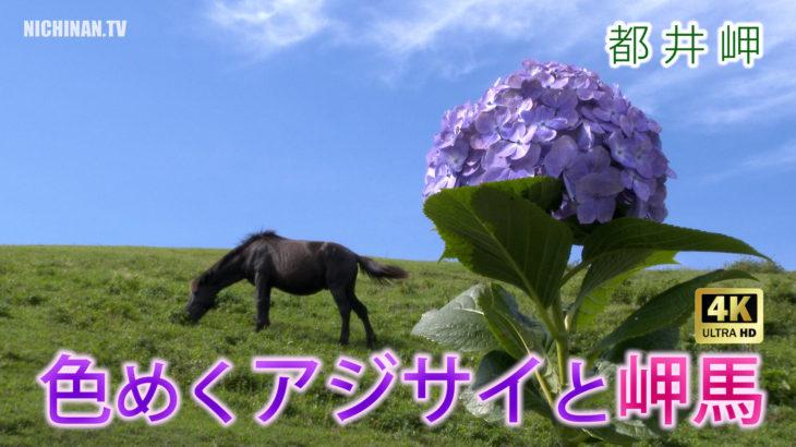 色めくアジサイと岬馬