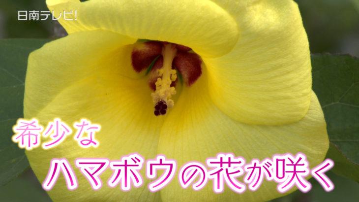 希少なハマボウの花が咲く
